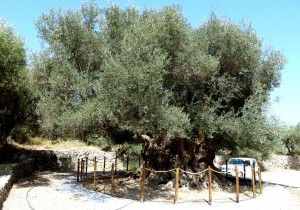 The Cavusi Olive